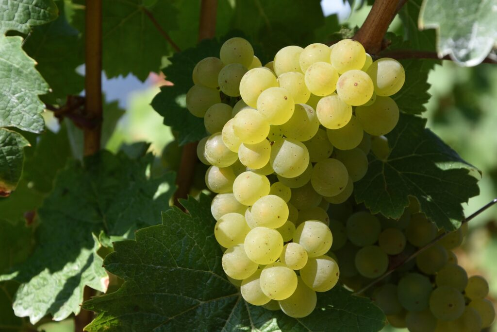 grape-1688607_1920